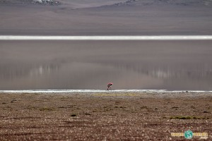 Flamingo a 4.500m de altitude