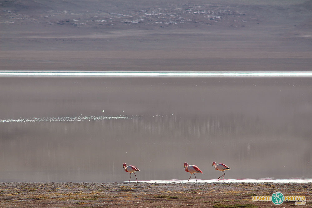 Flamingos a 4.500m de altitude